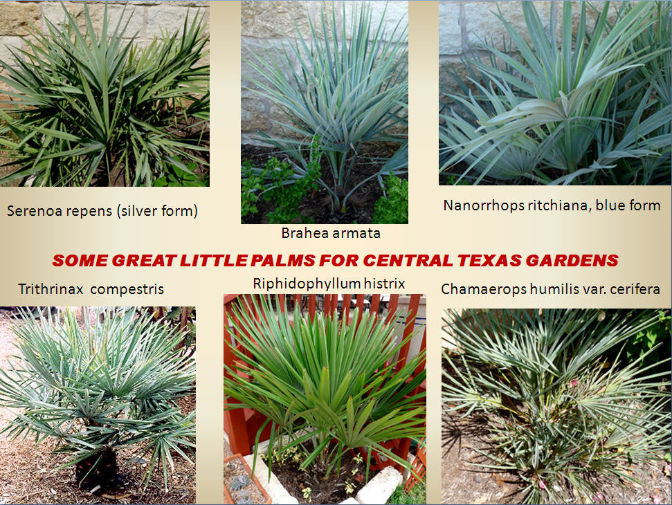 Gt Palms For Austin Why Not Central Texas Gardening